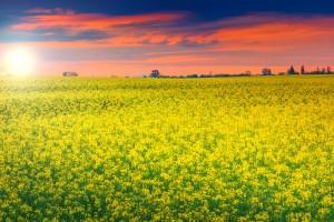 camp de floarea soarelui