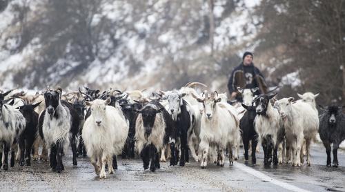 cioban capre